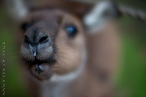 healesville-sanctuary-animals-lensbaby-velvet56-4738