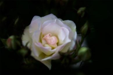 alowyn-gardens-flower-lensbaby-velvet56-9174