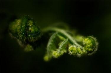 fern-growth-velvet56-healesvillesanctuary