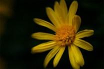 flower-alowyn-gardens-nikon-composerpro-sweet50