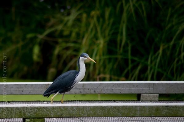 healesville-sanctuary-animals-birds-australia-5044