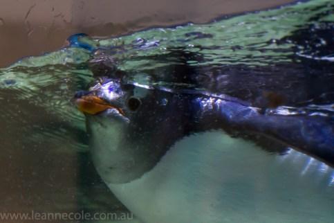 melbourne-aquarium-fish-turtles-penguins-135