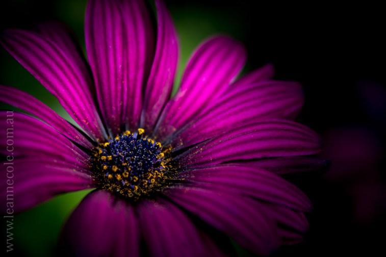 flowers-macro-mifgs-lensbaby-velvet56-0043
