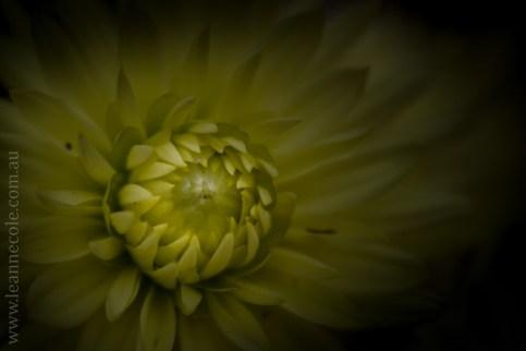 flowers-macro-mifgs-lensbaby-velvet56-9938