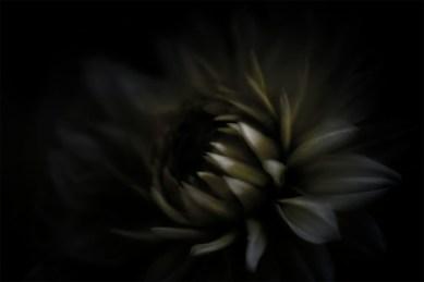 chrysanthemum-flower-edit-experimenting