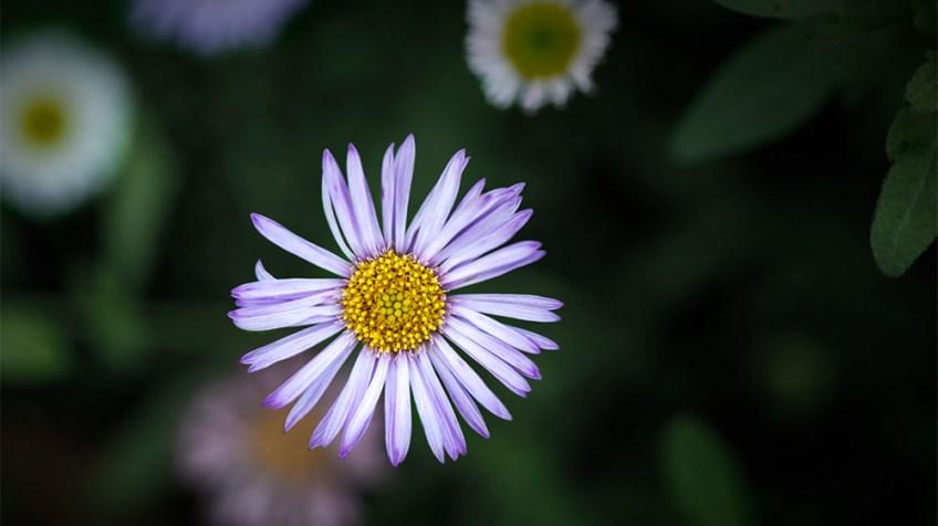 alowyn-gardens-daisy-samyang100mm-macro-3309
