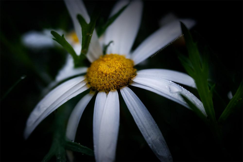 daisy-garden-rain-lensbaby-velvet56