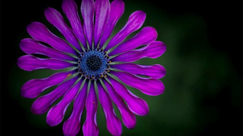 flower-garden-macro-samyang-lens