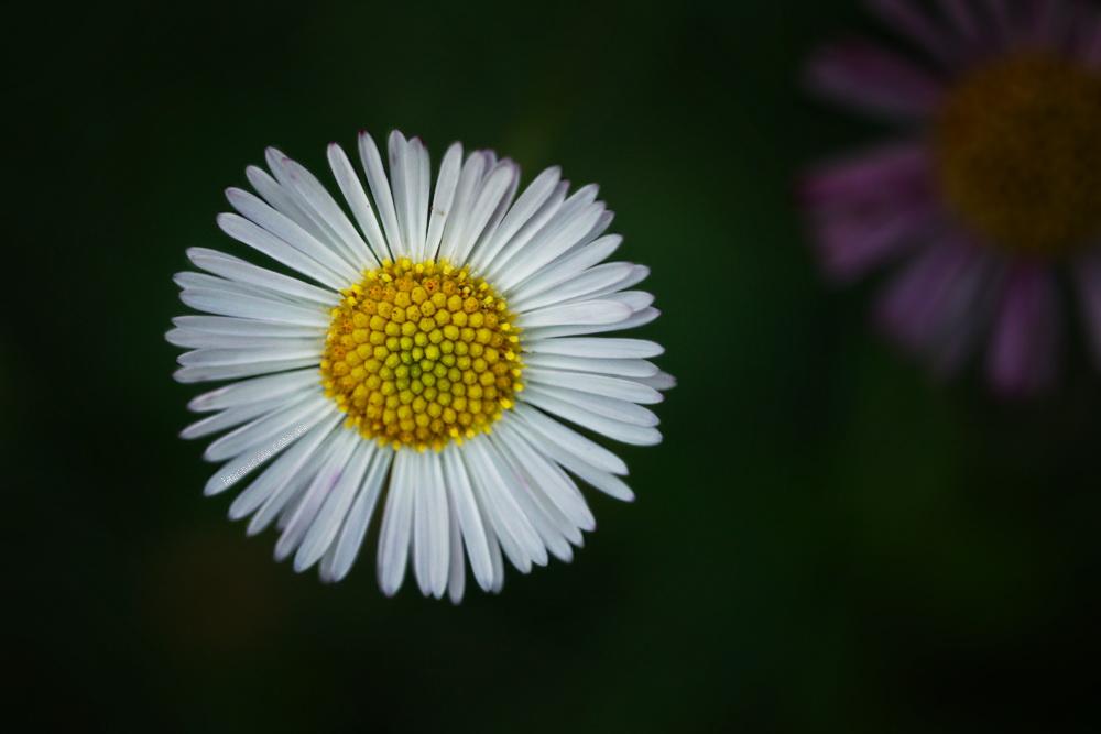 flower-samyang-macro-alowyn-gardens