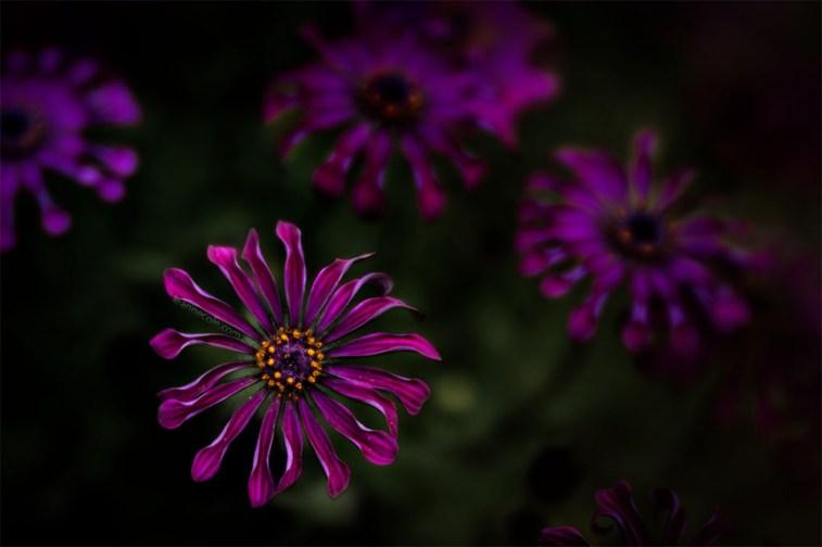 flowers-garden-lensbaby-velvet85-macro