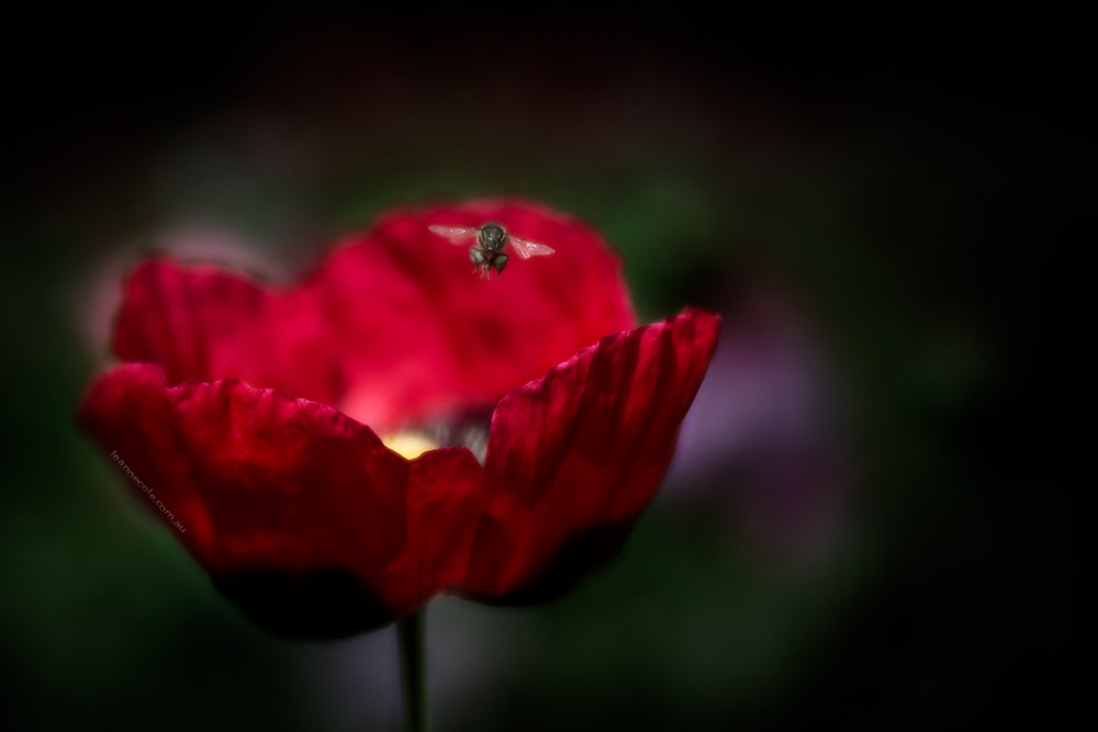 poppy-bee-alowyn-gardens-lensbaby-velvet85