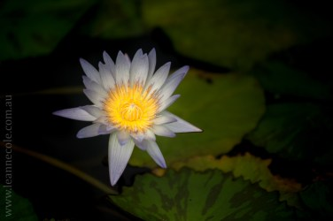 blue-lotus-waterlillies-flower-garden-0305