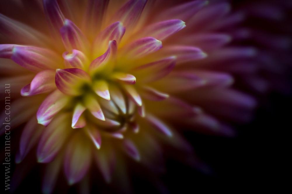 flowers-macro-mifgs-lensbaby-velvet56-9943