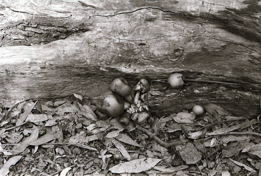 Hanging Rock Mushrooms