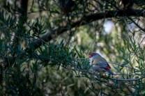 serendip-sanctuary-birds-victoria-geelong-5765