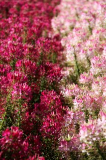1sml - Tesselaar - rows of bright and pale pink 2