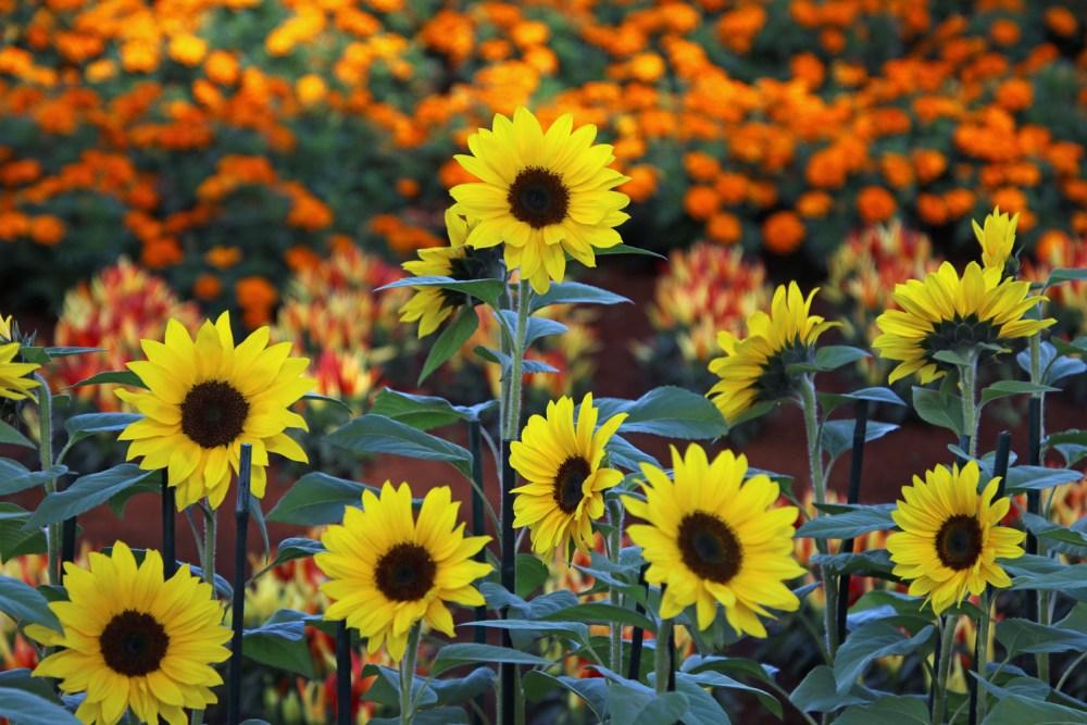 1sml - Tesselaar - sunflowers 2