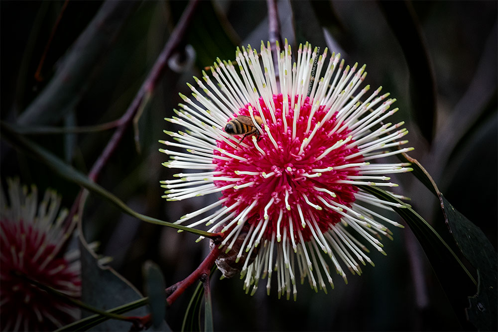 hakea-flower-garden-tree-macro