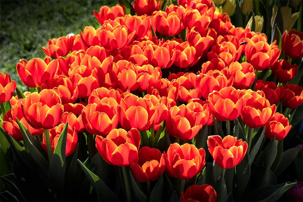 tulips-sun-bunch-mifgs-melbourne-2