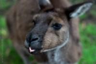 healesville-sanctuary-animals-lensbaby-velvet56-4763