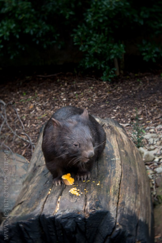 healesville-sanctuary-animals-lensbaby-velvet56-4981