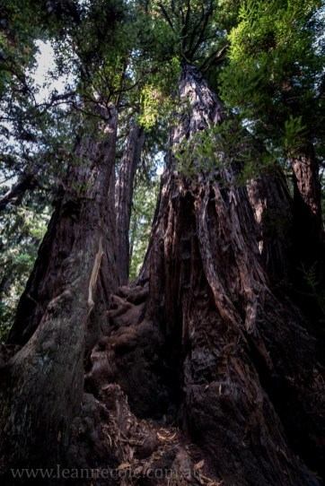 henry-cowell-redwoods-santacruz-mountains-4590