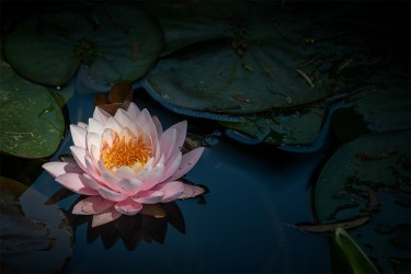 waterlily-bluelotus-garden-melbourne-9447