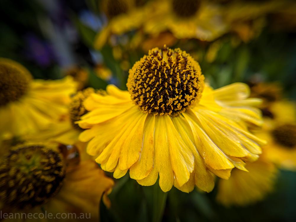 MIFGS-melbourne-flowers-strumanoptics-macro-094541