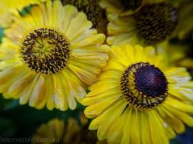 MIFGS-melbourne-flowers-strumanoptics-macro-094556