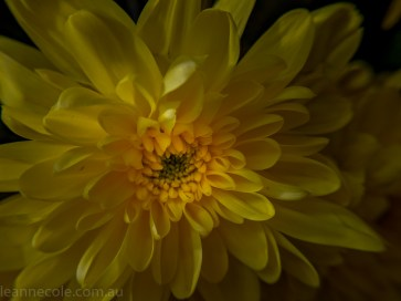MIFGS-melbourne-flowers-strumanoptics-macro-100650