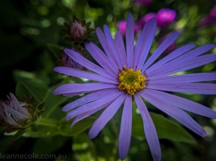 MIFGS-melbourne-flowers-strumanoptics-macro-112232