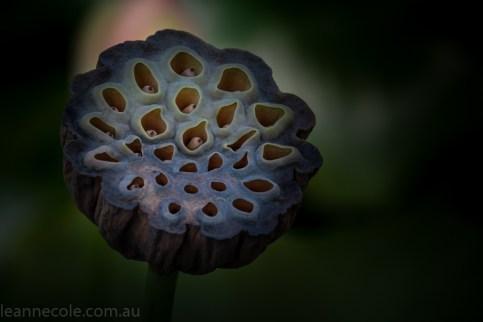 bue-lotus-watergarden-sunflower-secondtime-0481