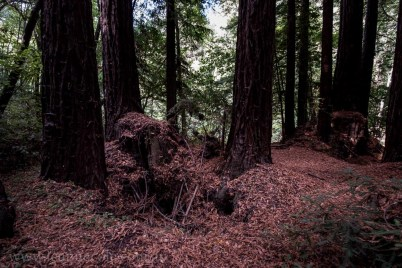 henry-cowell-redwoods-santacruz-mountains-4530