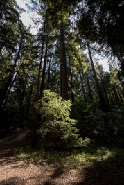 henry-cowell-redwoods-santacruz-mountains-4579
