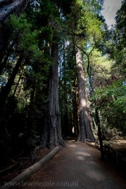 henry-cowell-redwoods-santacruz-mountains-4585