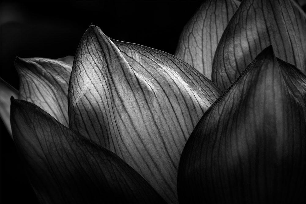 water-lily-flower-macro-monochrome-bluelotus