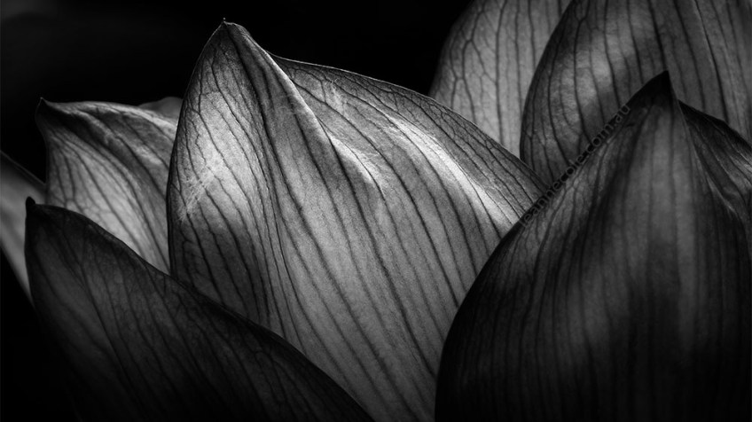 water-lily-flower-macro-monochrome-bluelotus