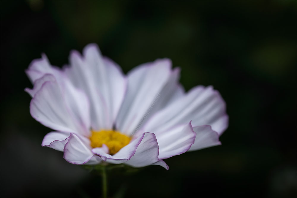 MIFGS-cosmos-flower-macro-melbourne