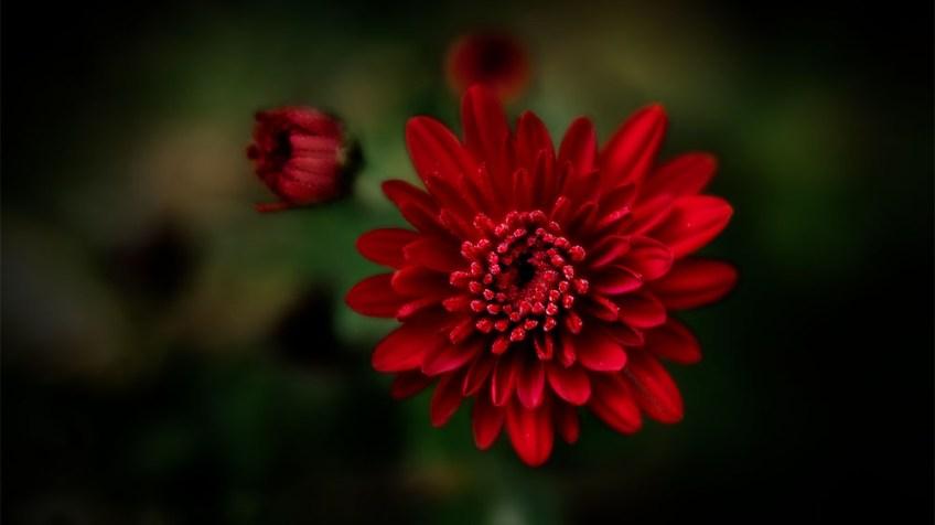chrysanthemum-garden-lensbaby-macro-flower