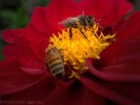 country-dahlias-flowers-macro-autumn-1