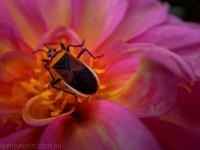 country-dahlias-flowers-macro-autumn-100730