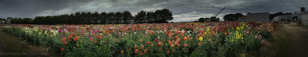 country-dahlias-flowers-macro-autumn-105635