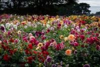country-dahlias-flowers-macro-autumn-3079