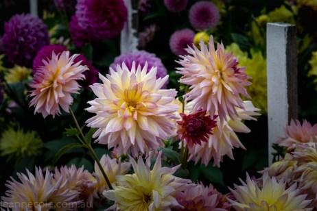 country-dahlias-flowers-macro-autumn-3138