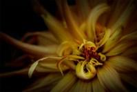 dahlia-flower-fujifilm-56mm-macro