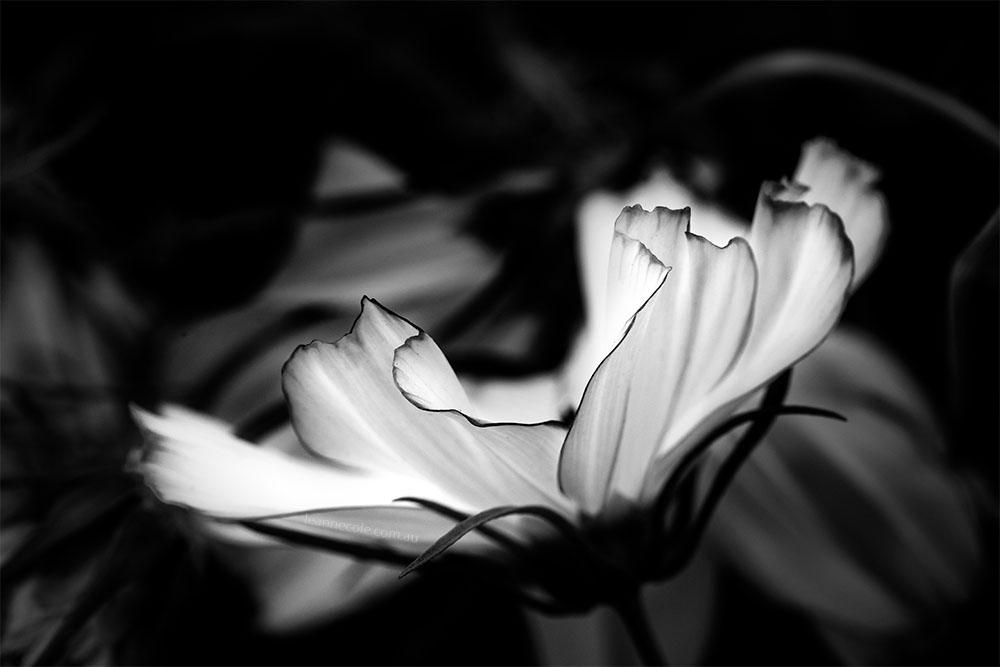 monochrome-flower-cosmos-flowershow-melbourne