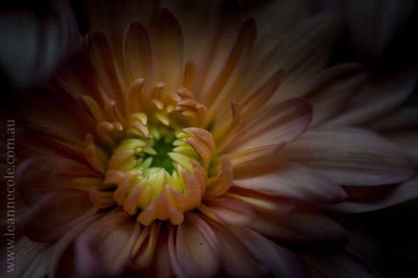 Favourite flower, chrysanthemums