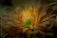 Favourite flower, chrysanthemums