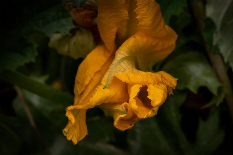 pumpkin-flowers-alowyngardens-yarraglen-1853