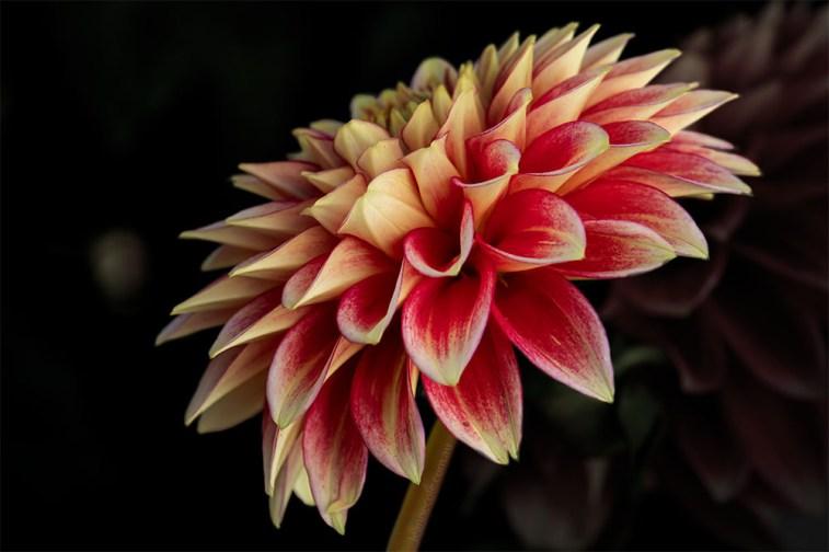 Floral Friday - Dahlias